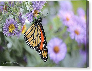 Monarch On New England Aster Canvas Print by Bruce Morrison