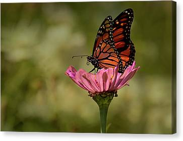 Canvas Print featuring the photograph Monarch On Pink Zinnia by Ann Bridges