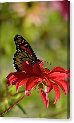 Canvas Print featuring the photograph Monarch On Red Zinnia by Ann Bridges
