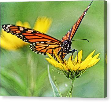 Butterfly In Motion Canvas Print - Monarch On Sunflower Dwc by Kevin Anderson