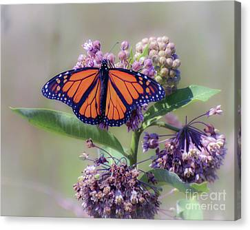 Canvas Print featuring the photograph Monarch On The Milkweed by Kerri Farley