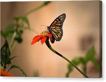 Butterfly Canvas Print - Monarch On Zinnia by Zina Stromberg