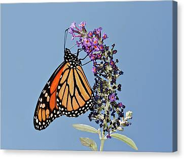 Canvas Print featuring the photograph Monarch Orange And Blue by Lara Ellis