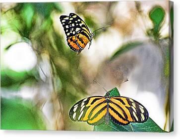 Monarch Pair Canvas Print by Cheryl Cencich