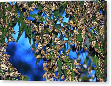 Monarchs Canvas Print