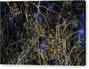 Monarchs Wintering Canvas Print by Garry Gay
