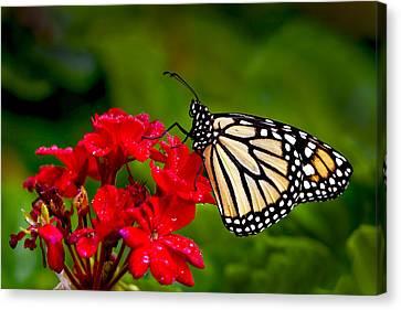 Monarh Butterfly Canvas Print