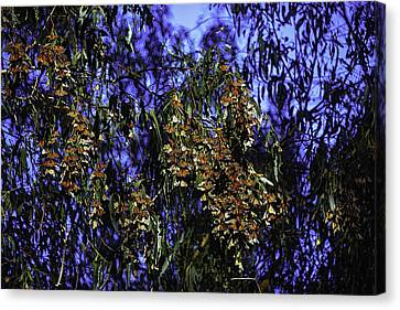 Monchard Cluster Canvas Print by Garry Gay