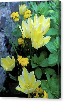 Monet's Fancy Tulips Canvas Print by Kathy Yates