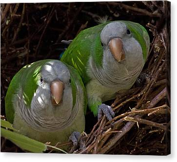 Monk Parakeet Pair Canvas Print by Larry Linton
