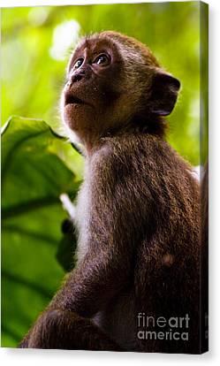 Monkey Awe Canvas Print