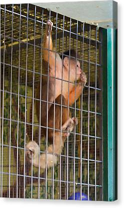 Couching Canvas Print - Monkey In Cage by Lanjee Chee
