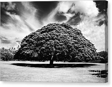 Monkey Pod Tree In Black And White Canvas Print by Charmian Vistaunet