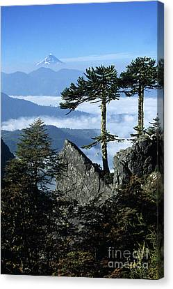 Monkey Puzzle Trees In Huerquehue National Park Canvas Print by James Brunker