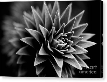 Black And White Canvas Print - Monkey Puzzle by Venetta Archer