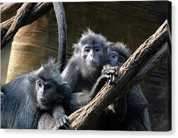 Monkey Trio Canvas Print by Karol Livote