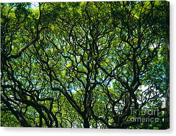 Monkeypod Canopy Canvas Print by Peter French - Printscapes