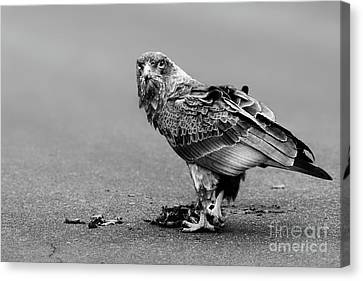 Monochrome Bateleur Eagle Feeding On Tortoise Canvas Print