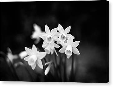 Monochrome Daffodils Canvas Print by Shelby Young