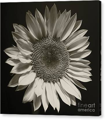Monochrome Sunflower Canvas Print by Kelly Holm