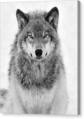 Monotone Timber Wolf  Canvas Print by Tony Beck