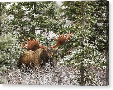 Monster Bull Moose Canvas Print by Sam Amato