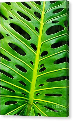 Monstera Leaf Canvas Print by Carlos Caetano