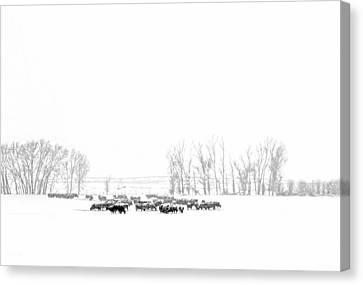 Montana Winter's Cattle  Canvas Print