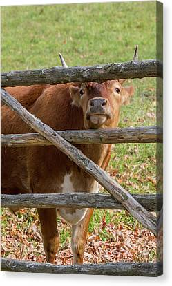 Canvas Print featuring the photograph Moo by Bill Wakeley