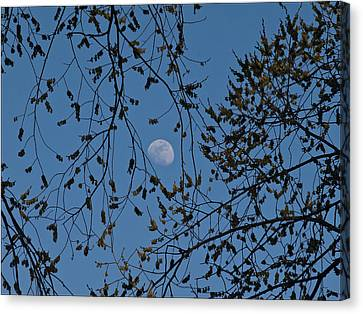 Moon And Trees 1 Canvas Print by Robert Ullmann