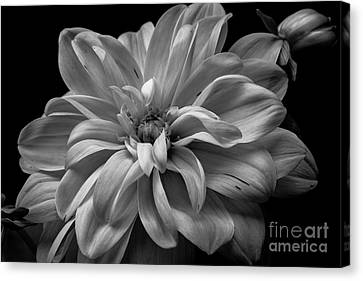 Canvas Print featuring the photograph Moonlit Dahlia by Chris Scroggins