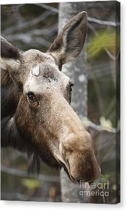 Moose - White Mountains New Hampshire Usa Canvas Print by Erin Paul Donovan