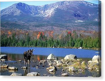 Moose And Mount Katahdin Canvas Print by John Burk