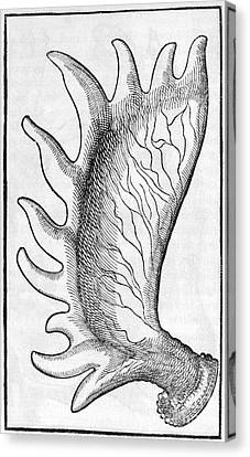 Moose Antler, 1573 Canvas Print by Middle Temple Library