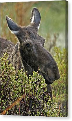 Canvas Print - Moose Cow Morning In The Rockies by Natural Focal Point Photography