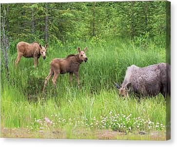Moose Family Canvas Print