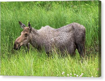Moose In Tall Grass Canvas Print