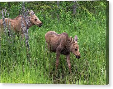 Moose In The Field Canvas Print