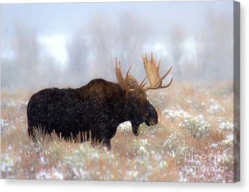Canvas Print featuring the photograph Moose In The Fog Silhouette by Adam Jewell