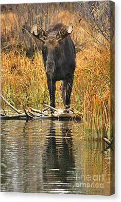 Moose Intensity Canvas Print by Adam Jewell