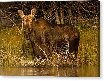 Moose Of Prong Pond Canvas Print