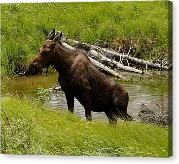 Moose Out Of Water Canvas Print