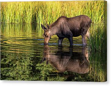 Canvas Print featuring the photograph Moose Reflections by Mary Hone