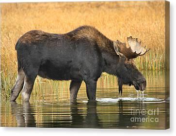 Moose Ripples Canvas Print by Adam Jewell