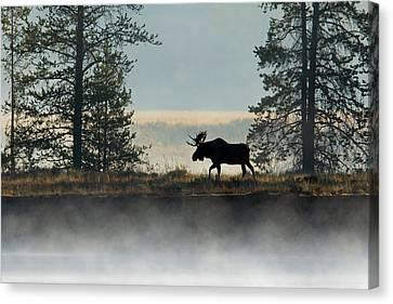 Moose Surprise Canvas Print
