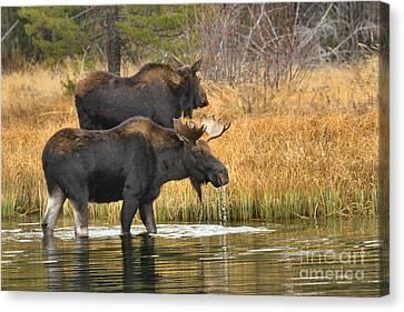 Moose Walking In Tendem Canvas Print by Adam Jewell