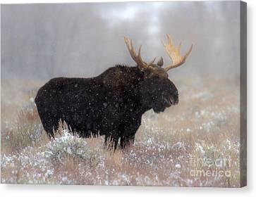 Canvas Print featuring the photograph Moose Winter Silhouette by Adam Jewell