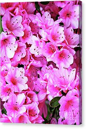 More Pink Azaleas Canvas Print