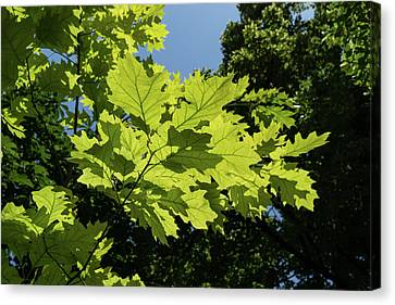 More Than Fifty Shades Of Green - Sunlit Oak And Linden Patterns - Up Left Canvas Print