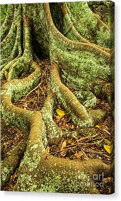 Canvas Print featuring the photograph Moreton Bay Fig by Werner Padarin